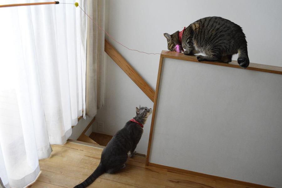 猫じゃらしで遊ぶ虎ノ介を下から見る春太
