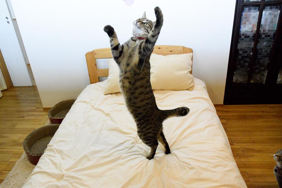猫じゃらしで軽やかに遊ぶ虎ノ介