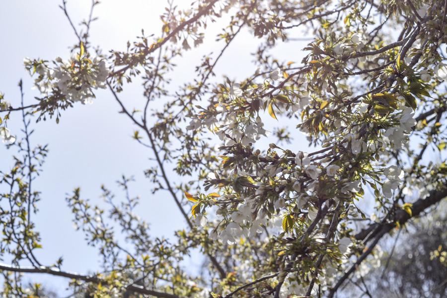 お家から見られる桜