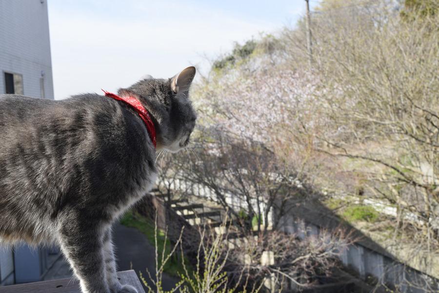 ベランダから桜をみる春太