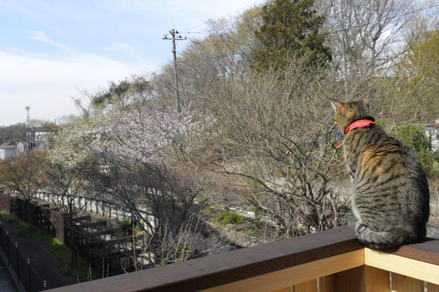 ベランダから桜をみる虎ノ介