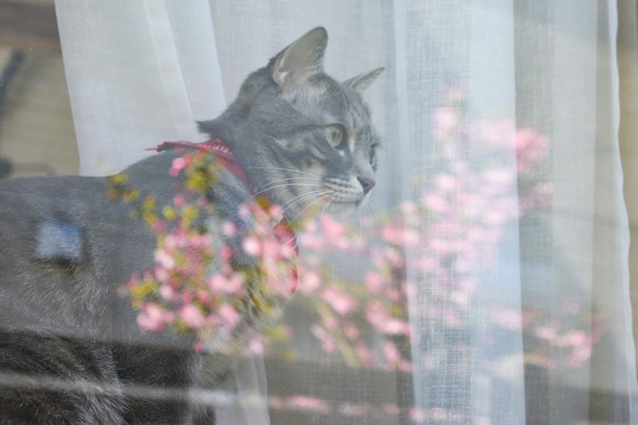 窓越しに花見をする春太