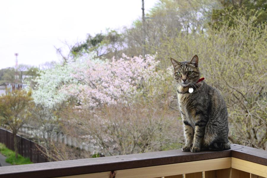 遊歩道の桜と虎ノ介