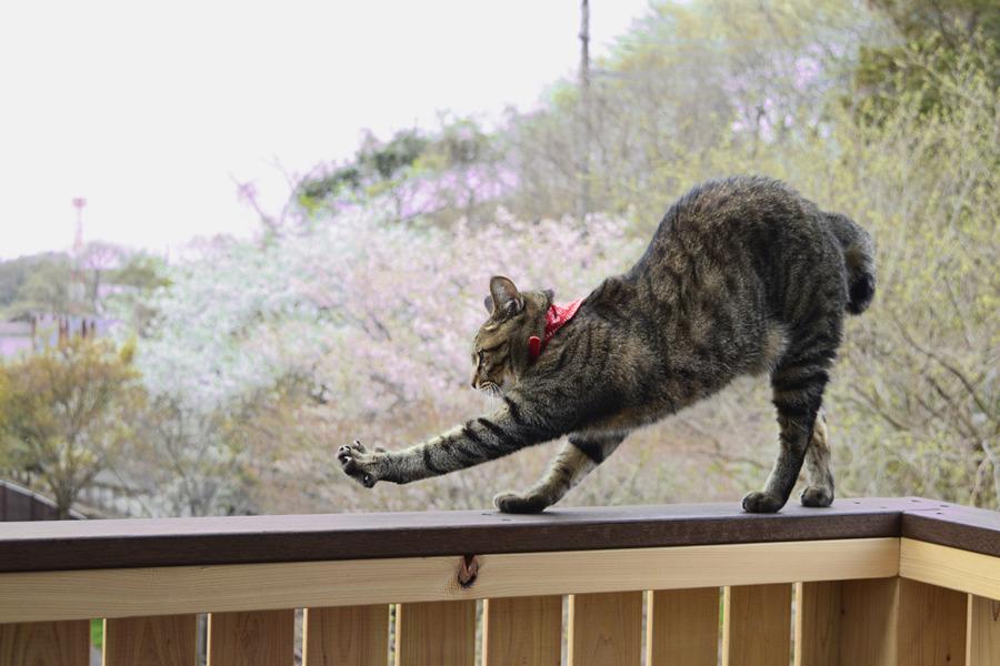 桜を楽しみつつベランダの手すりで伸びをする虎ノ介