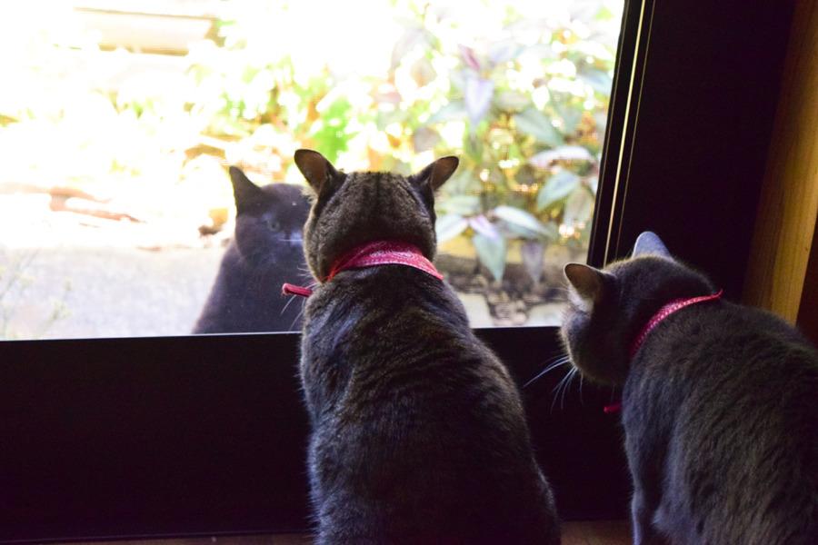 勝手口で見知らぬ猫に対抗する虎ノ介と春太
