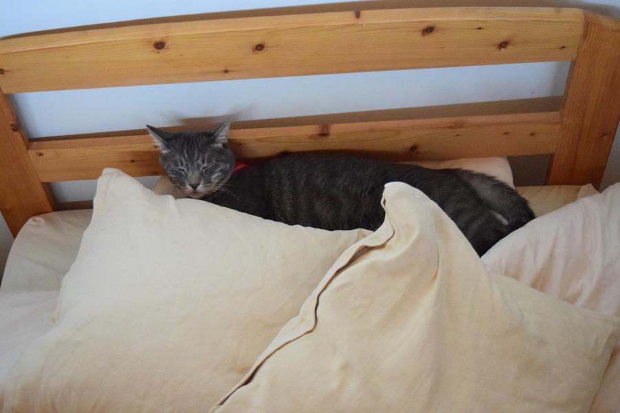 枕の上で眠る春太