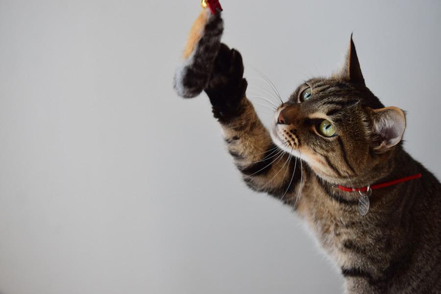 虎のしっぽ猫じゃらしに興味津々の虎ノ介