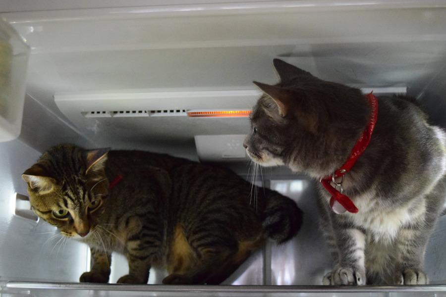 冷蔵庫に入る虎ノ介と春太