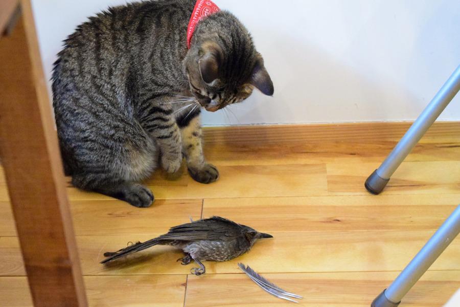 ベランダで捕まえた鳥をお部屋にもってきた虎ノ介