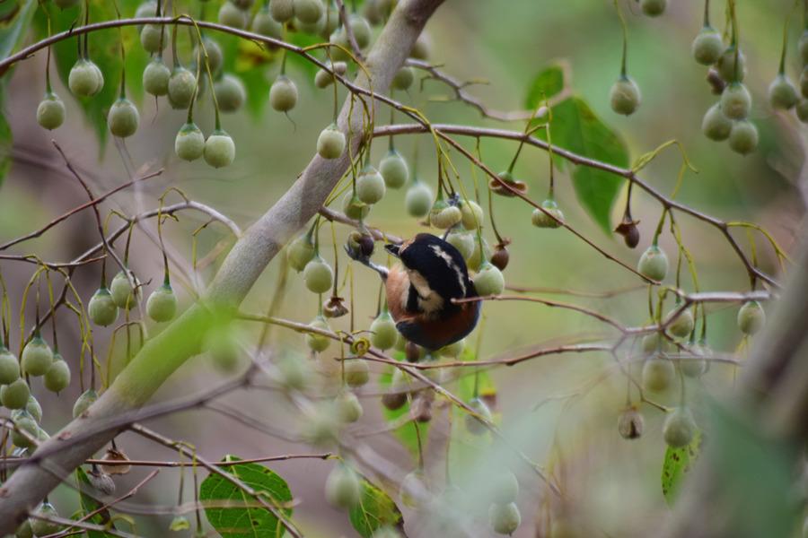 エゴの実をついばむヤマガラ