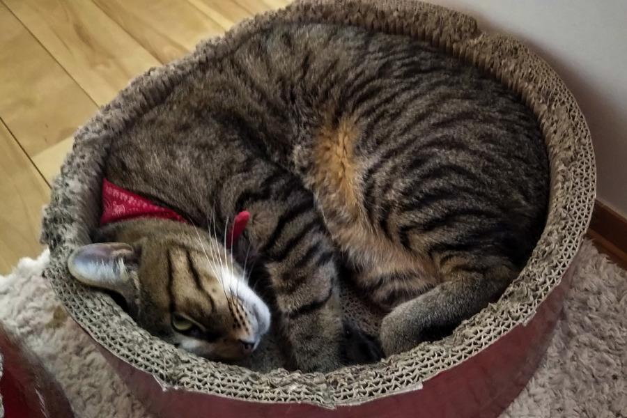 拗ねて猫ベッドに入る虎ノ介