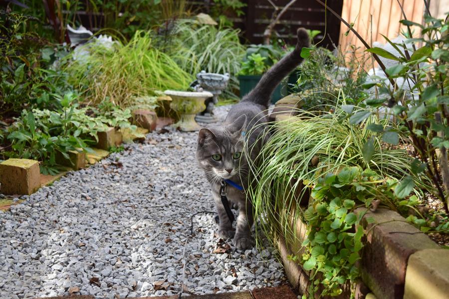 不安げに庭を散歩する春太