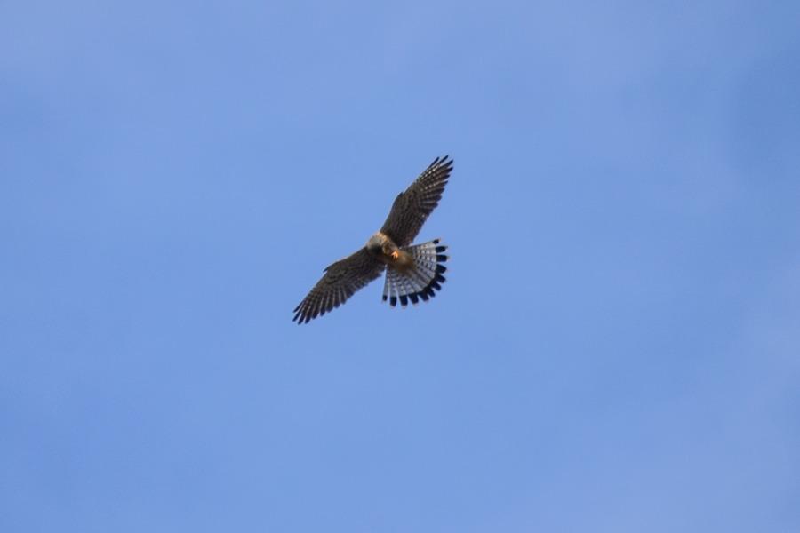 頭上を飛ぶ猛禽類(チョウゲンボウ)
