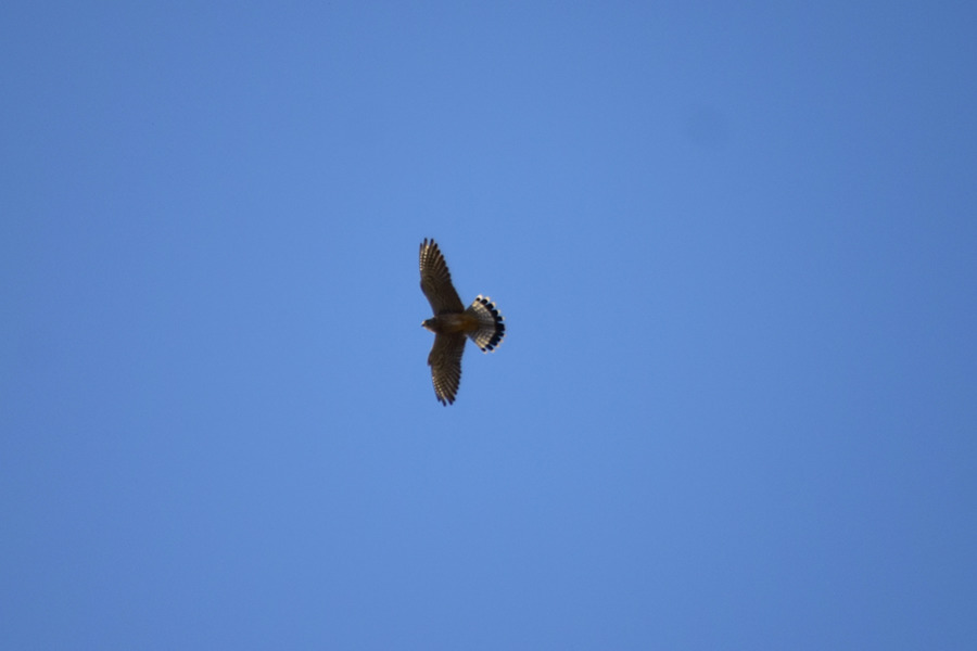 空を飛ぶチョウゲンボウ