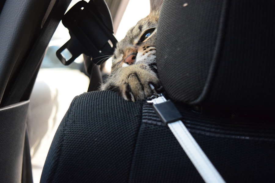車の中で人間と遊ぶ虎ノ介