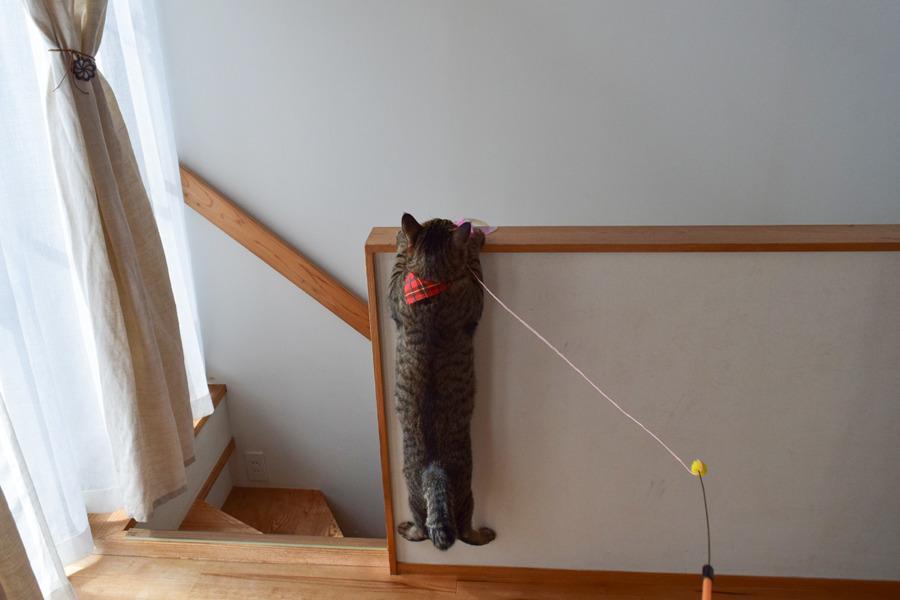 猫じゃらしを捕まえようと手すりにぶら下がる虎ノ介