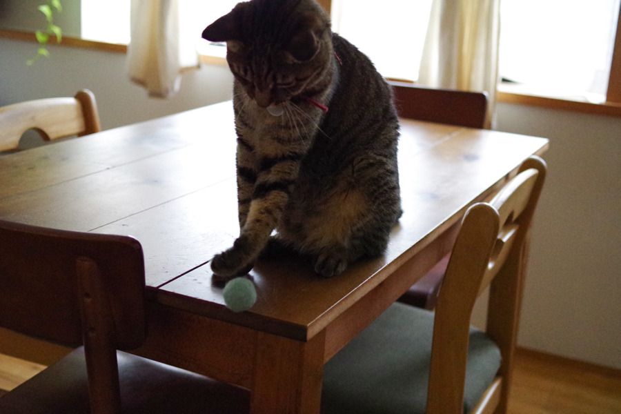 テーブルの上のボールで遊ぶ虎ノ介