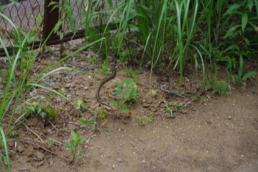 遊歩道を逃げるヘビ