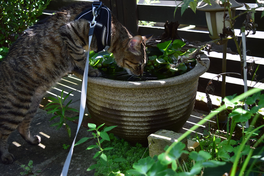 ハーネスを装着して水鉢の水を飲む虎ノ介