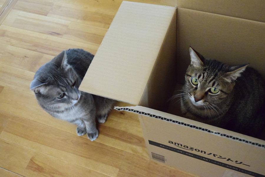 箱に入る虎ノ介と箱に入りたくて見つめる春太