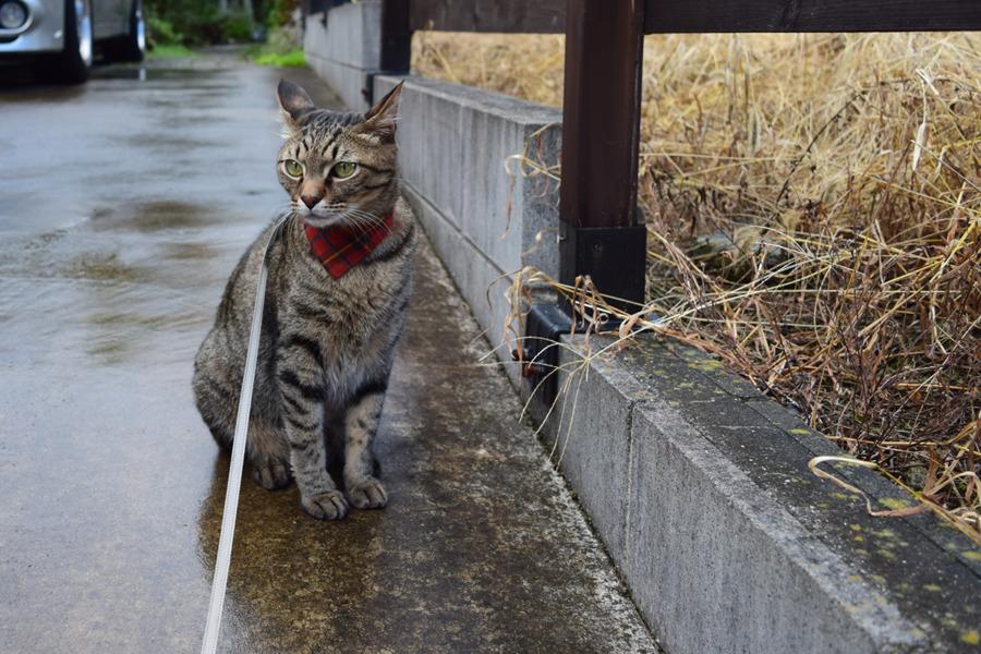 雨の中散歩にでた虎ノ介