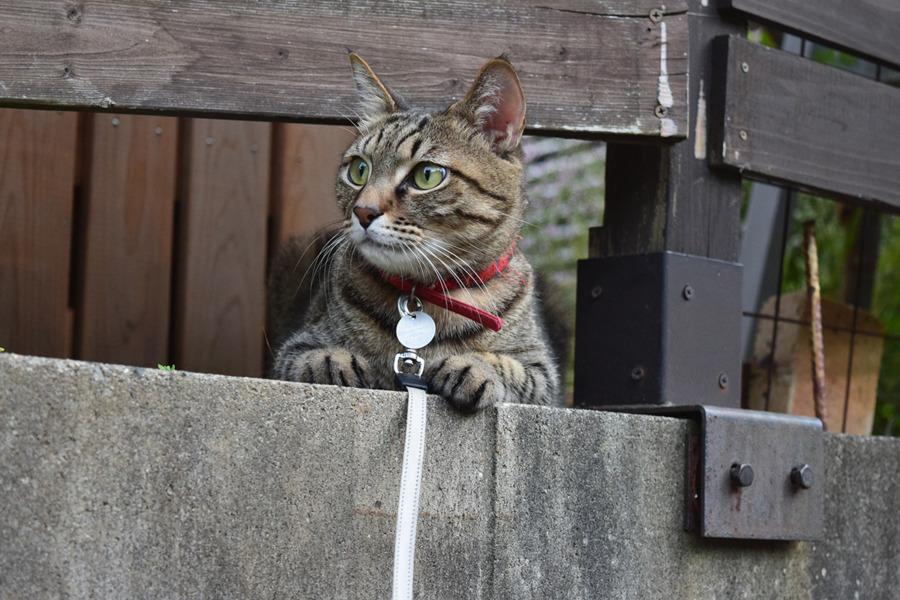 フェンスの下から顔をだして通行人をチェックする虎ノ介