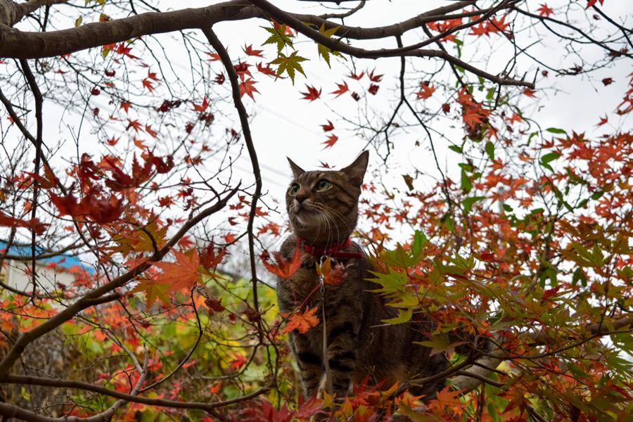 紅葉を眺める虎ノ介