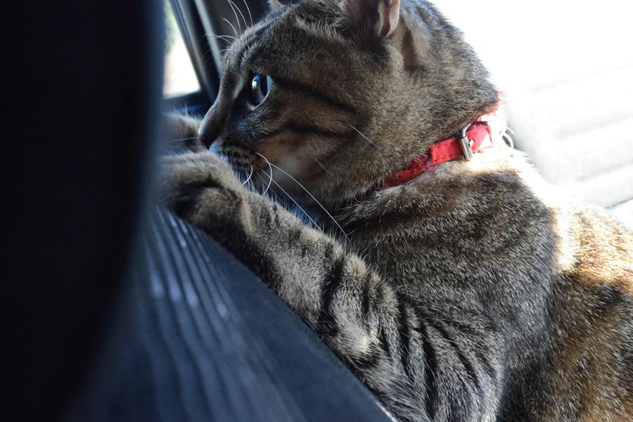 車で人間と遊ぶ虎ノ介