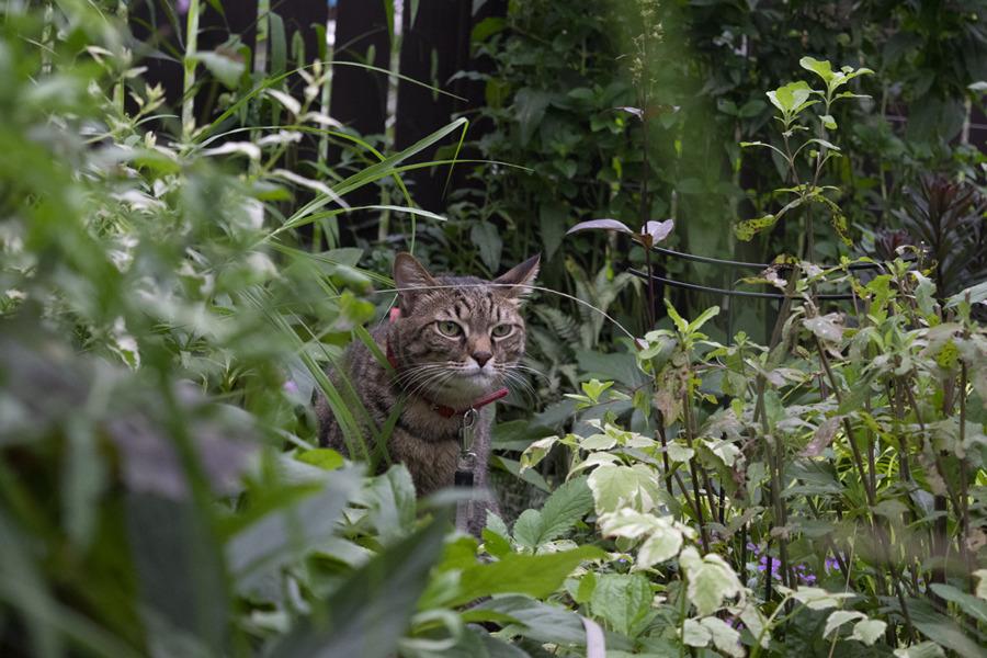 庭の中を闊歩する虎ノ介