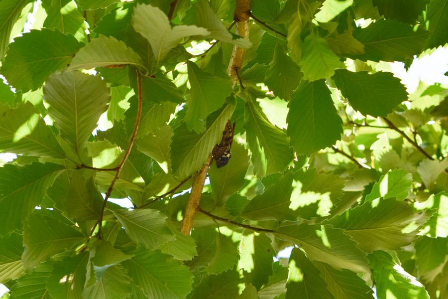 庭の木にとまるセミ