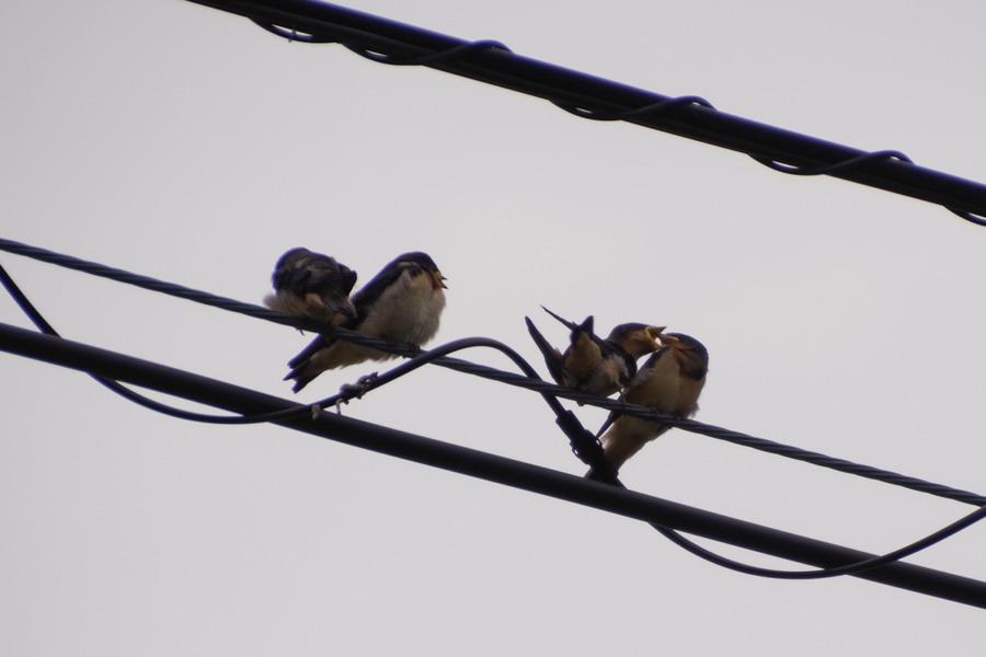 電線の上で喧嘩するツバメの幼鳥