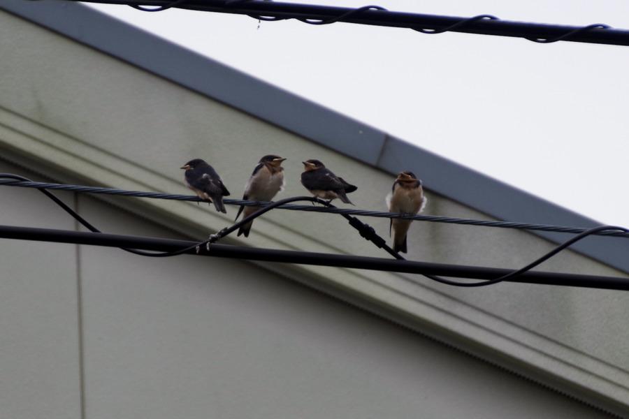 雨の中電線に並んでとまるツバメの幼鳥たち