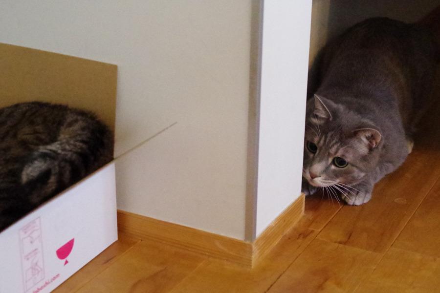 虎ノ介が遊ぶ猫じゃらしを陰から狙う春太