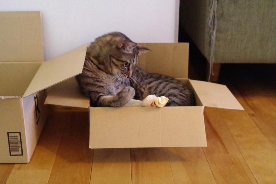 箱の中で遊ぶ虎ノ介