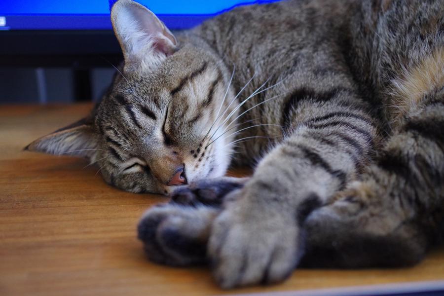 机の上で眠る虎ノ介