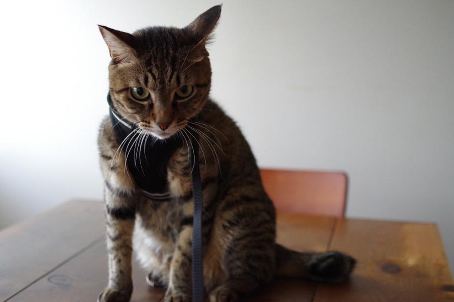 ハーネスを装着された虎ノ介
