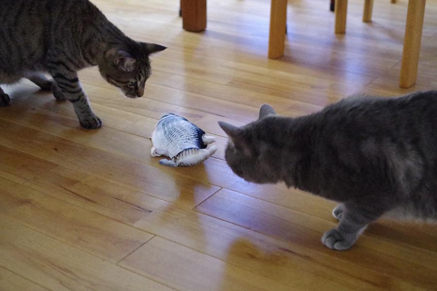動く魚のおもちゃに寄っていく春太と虎ノ介