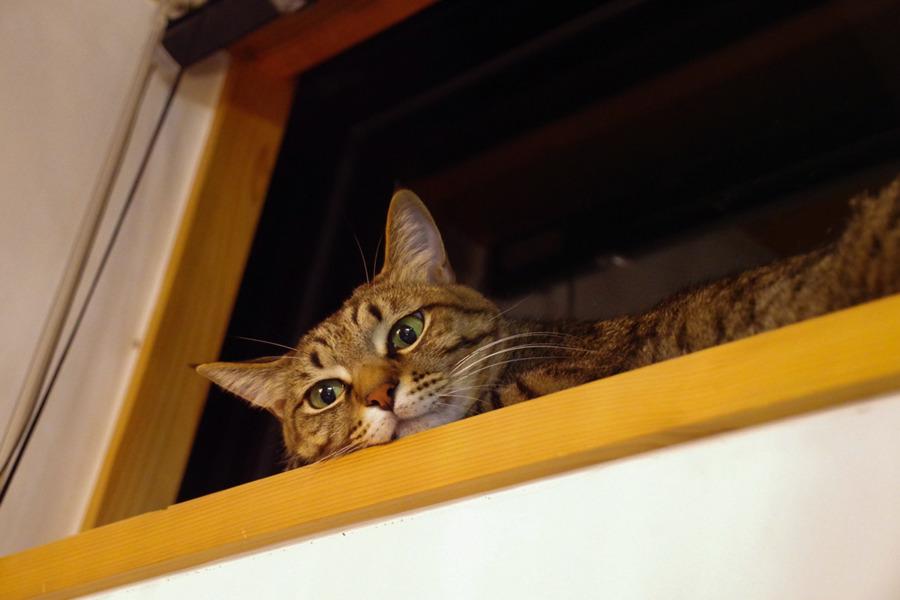 窓から人間を見下ろす虎ノ介