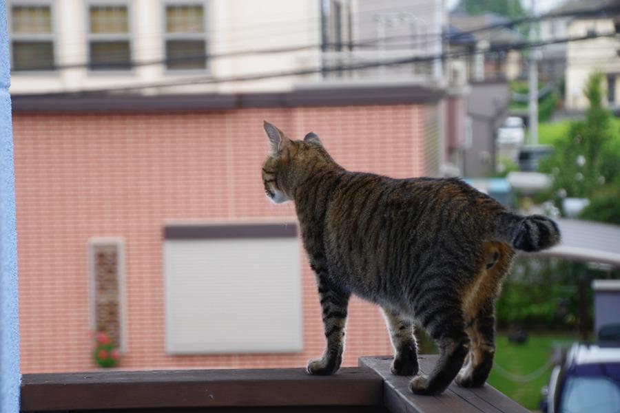 ベランダから外を眺める虎ノ介