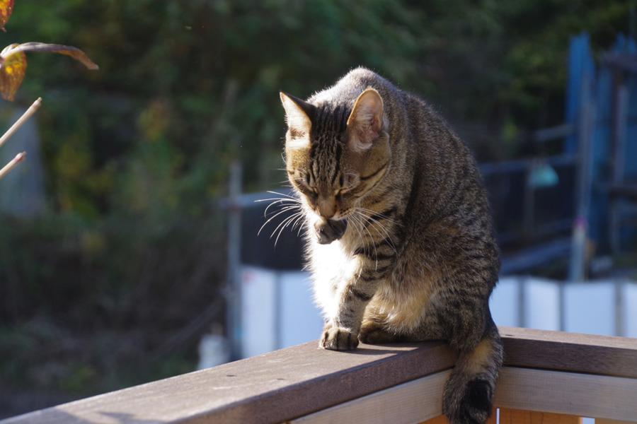 ベランダで日差しを浴びながら毛づくろいする虎ノ介